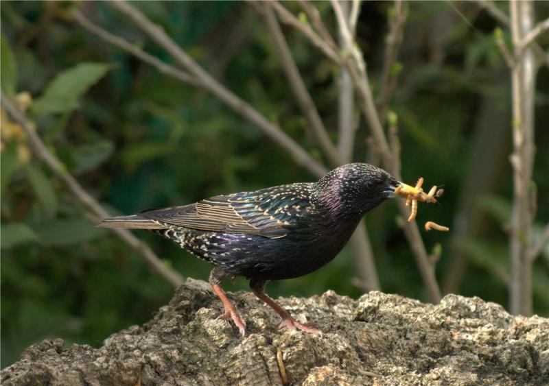 吃虫的八哥鸟