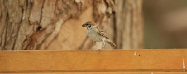 小麻雀幼崽吃什么