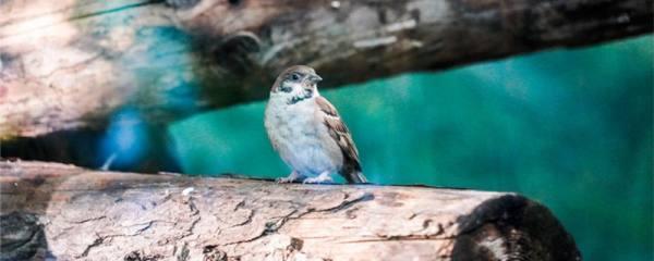 麻雀能养活吗