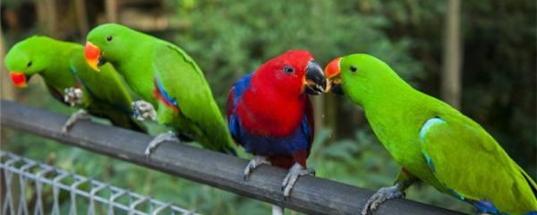 鹦鹉为什么老是亲嘴