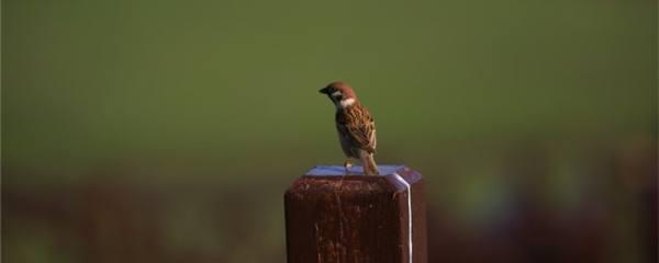 小麻雀吃什么能养活