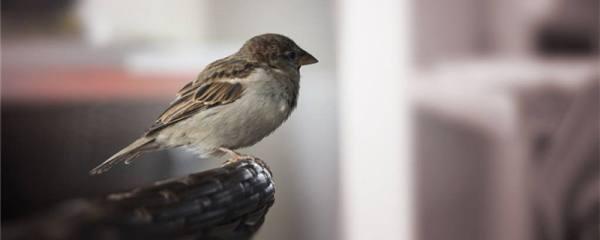 小麻雀多久不喂会饿死