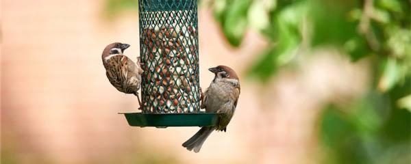 小麻雀一天要吃几粒米