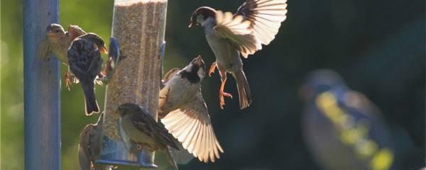 麻雀是什么动物
