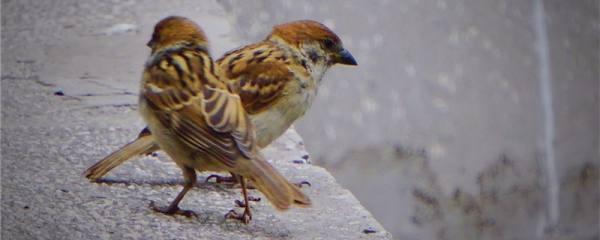 麻雀幼崽一天喂几次