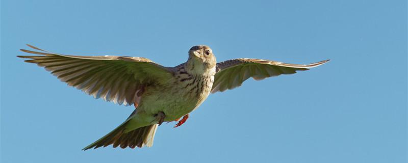 百灵鸟怎么分辨公母