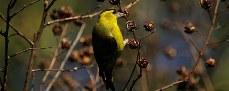黄雀喜欢圆笼还是方笼