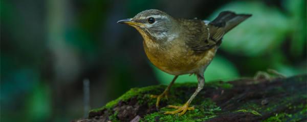 画眉鸟吃什么虫子最好