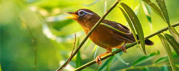 画眉鸟吃什么增肥快