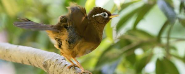 画眉鸟能活多少年