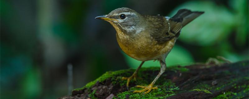 画眉鸟吃面包虫长膘吗