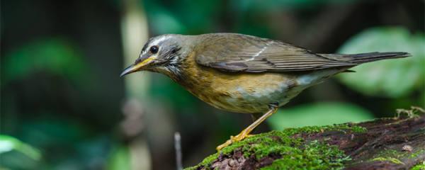 画眉鸟种类
