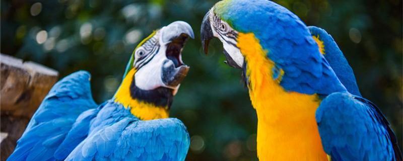 鹦鹉怎么表达喜欢你