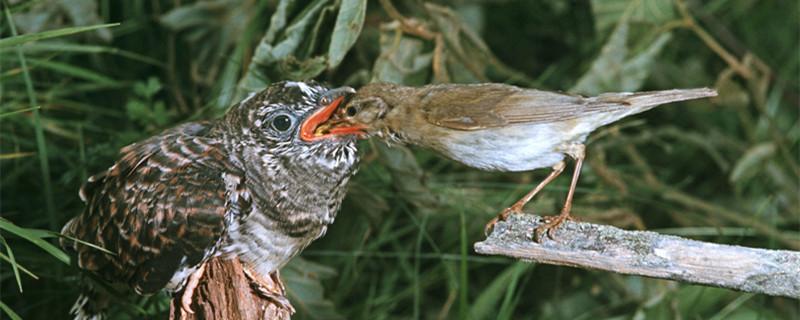 杜鹃鸟有多少种