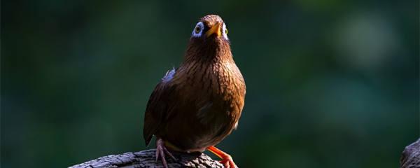 画眉鸟换毛先换尾巴怎么办