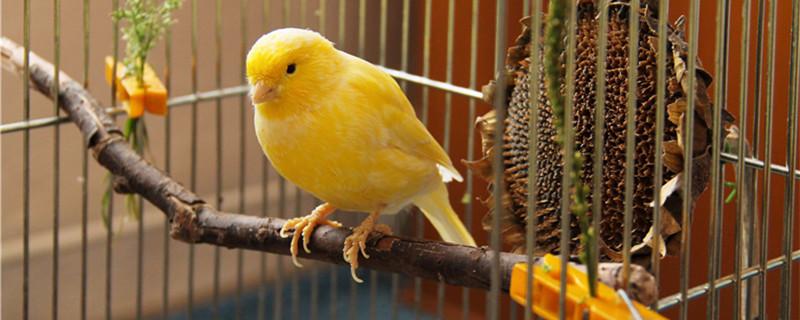 金丝雀怎么分辨公母