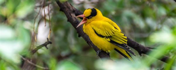 黄鹂鸟吃什么东西