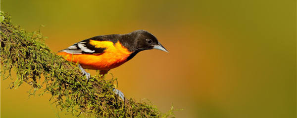 黄鹂鸟能养熟吗