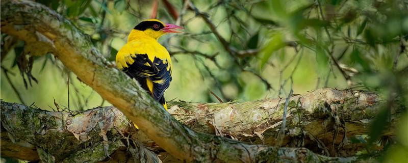 野生黄鹂鸟怎么开食
