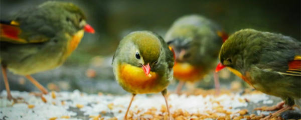 相思鸟吃什么