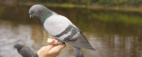 鸽子吃大米吗