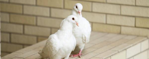 鸽子换羽期吃什么饲料