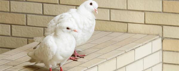 鸽子下蛋多久出小鸽子