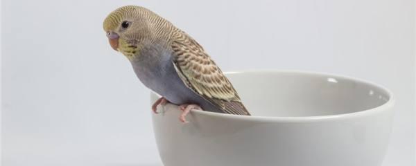 鹦鹉怎么养不飞走