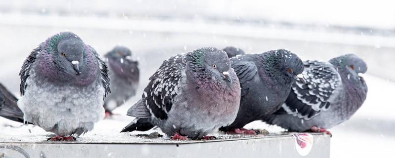 鸽子下蛋窝里垫什么好