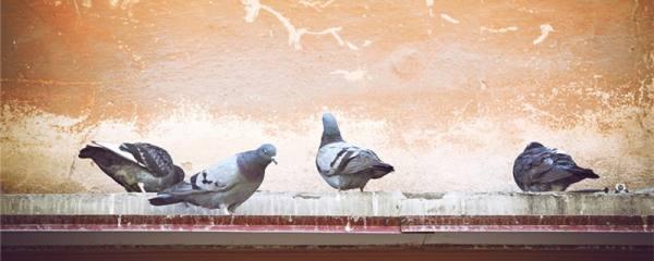 鸽子吃什么食物长得大又壮又肥