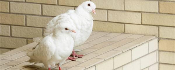 鸽子吃生米还是熟米