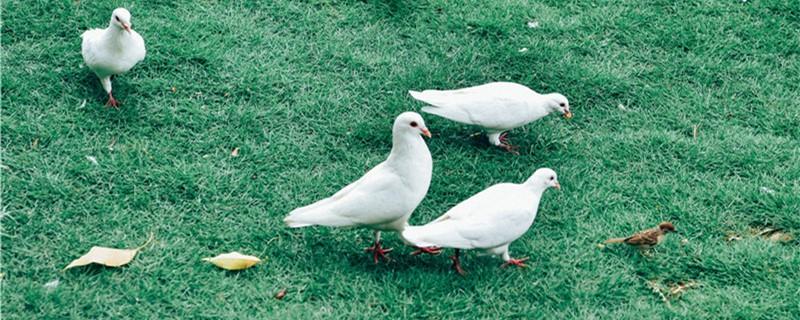鸽子红鼻头是什么原因造成的