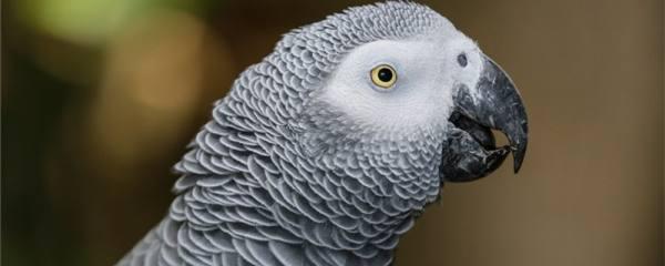 鹦鹉换毛期有什么症状