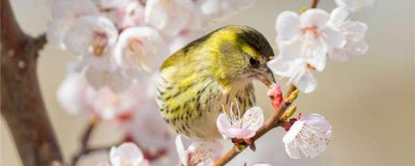 黄雀喜欢吃什么食物