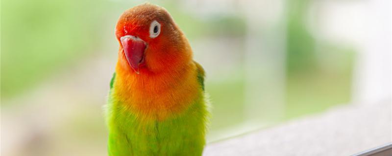 牡丹鹦鹉养在阳台怕晒吗