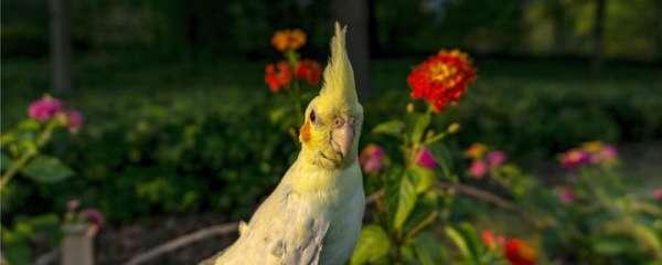 玄凤鹦鹉公和母哪个粘人