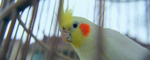 鹦鹉掉毛还能长出来吗
