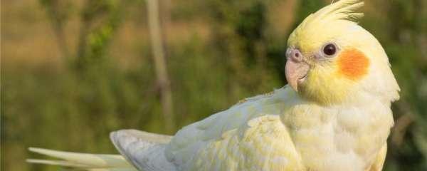 玄凤鹦鹉新配对需要多久