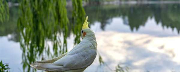 玄凤鹦鹉一直发抖怎么回事