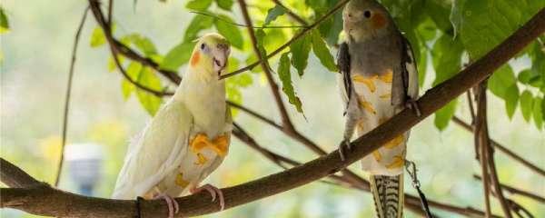 鹦鹉不能吃什么水果
