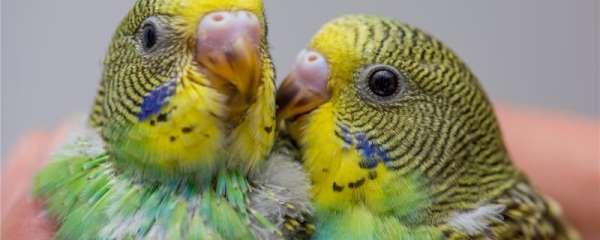 鹦鹉可以吃橘子吗