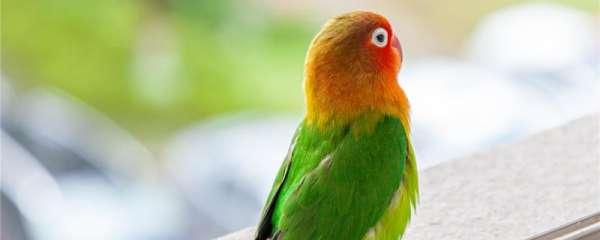 牡丹鹦鹉几个月性成熟可以繁殖