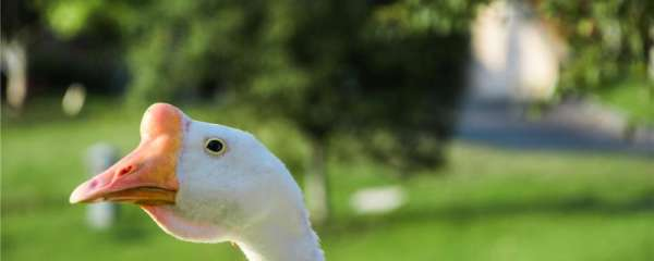 鹅可以当宠物吗