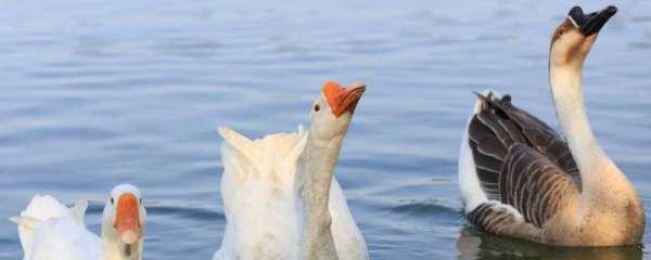 鹅为什么跟着主人走
