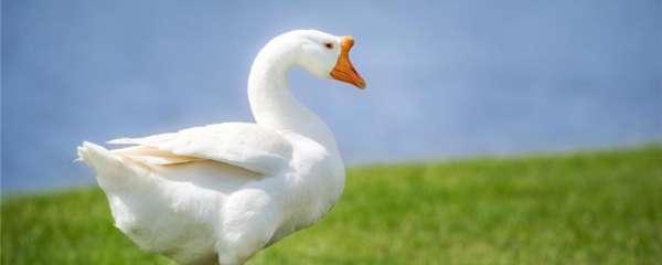 为什么鹅总会攻击人