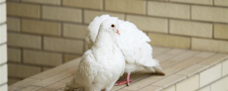 鸽子冬天下蛋室外能孵化吗
