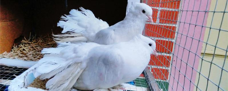 鸽子为什么不孵蛋