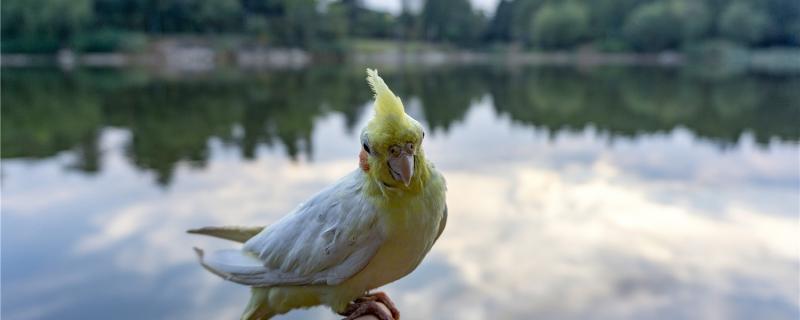 玄凤鹦鹉不洗澡怎么办
