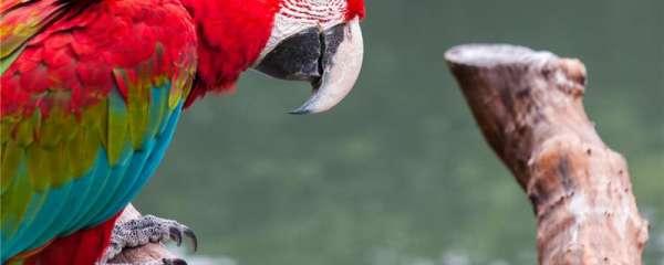 成年鹦鹉一天喂几次