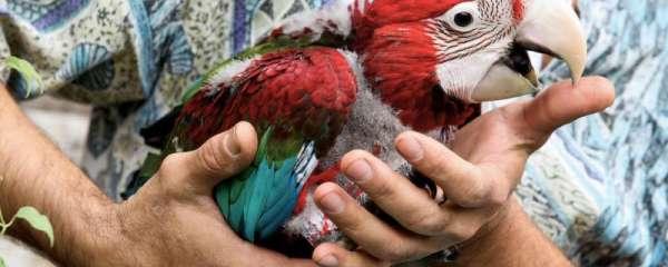养鹦鹉对人体健康有影响吗